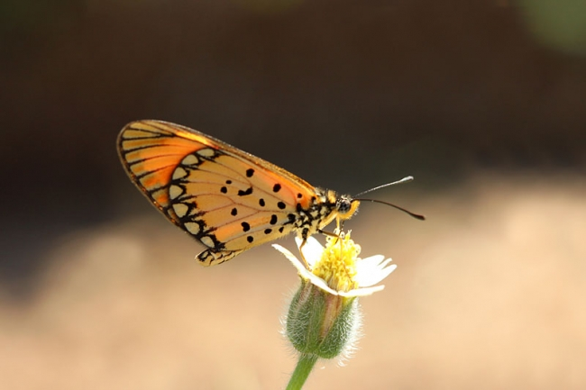 Small Orange Acraea