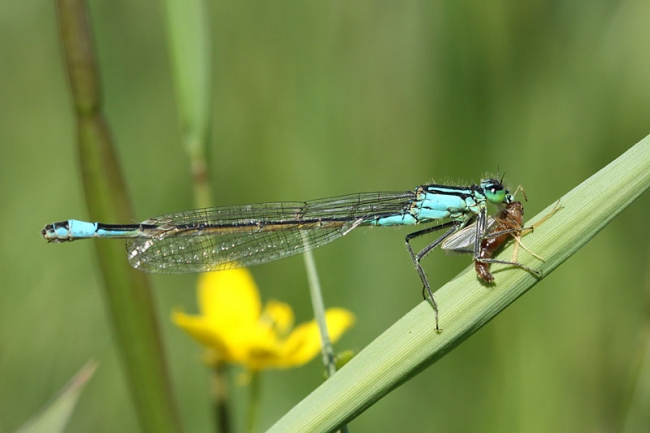 Common Bluetail