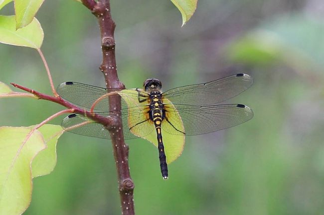 Eastern White-faced Darter