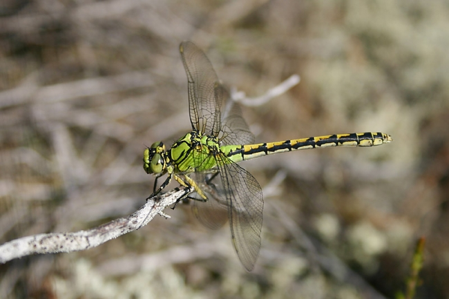 Green Club-tailed Dragonfly