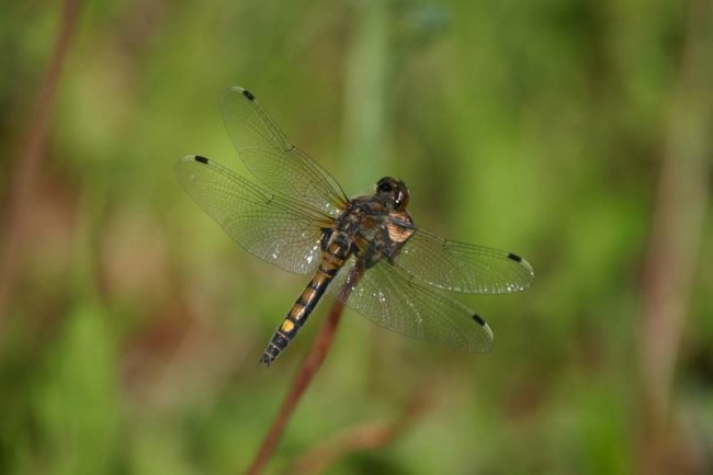 Northern White-faced Darter