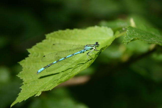 Northern_Damselfly