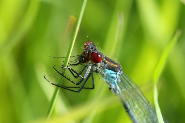 Red-eyed_Damselfly