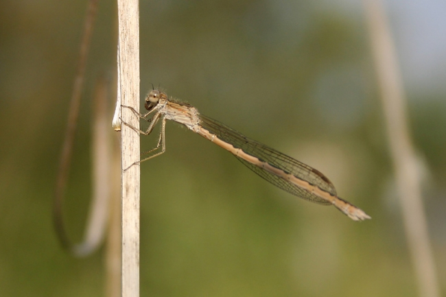 Siberian Winter Damselfly