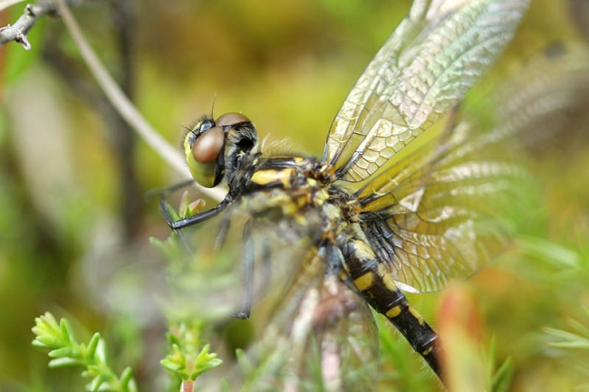 Small White-faced Darter