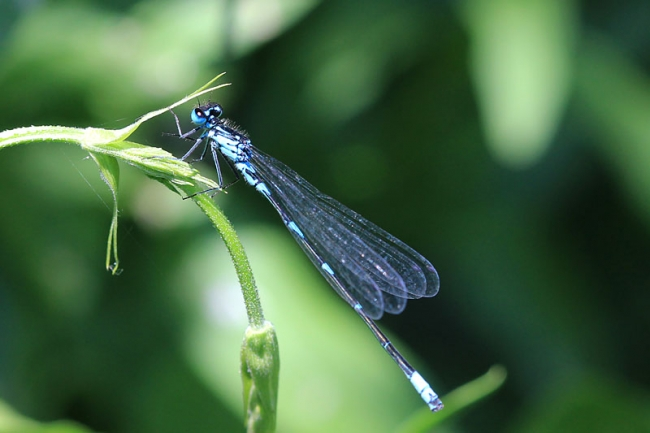 Variable Damselfly