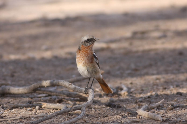 Evermann's Redstart