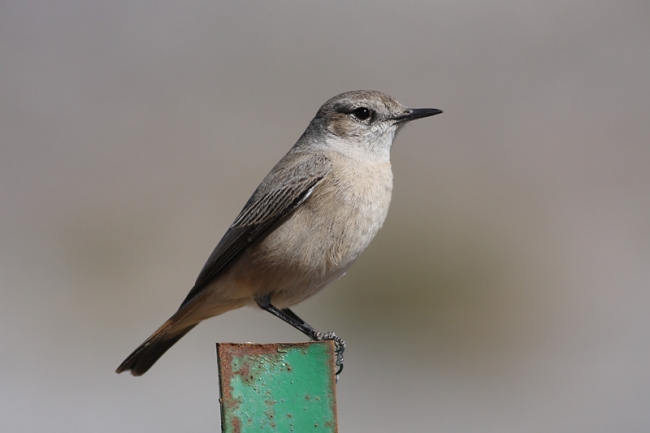 Eastern Red-tailed Wheatear