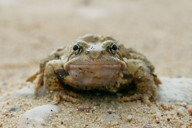 Common Toad