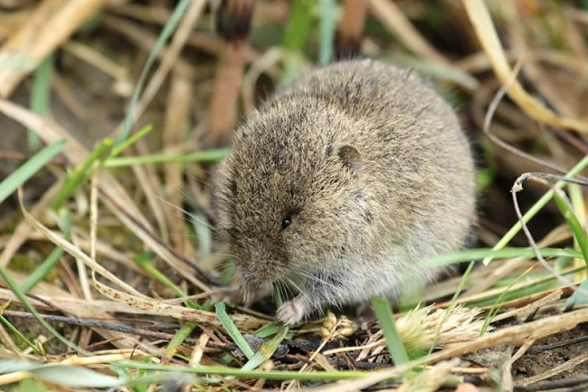 Short-tailed Field Vole