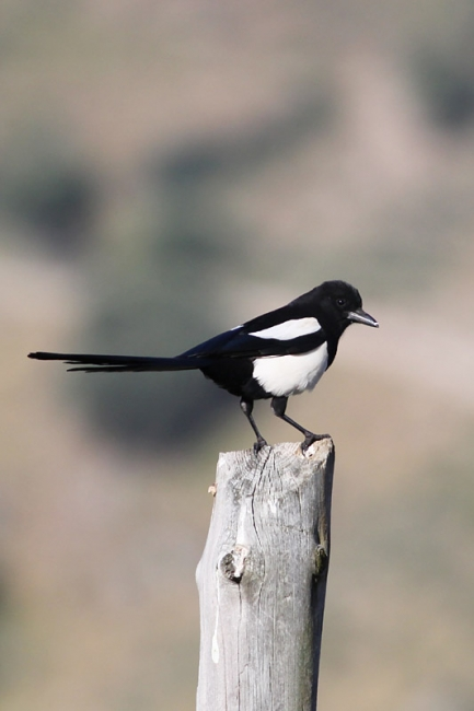 Common Magpie, friend indeed!