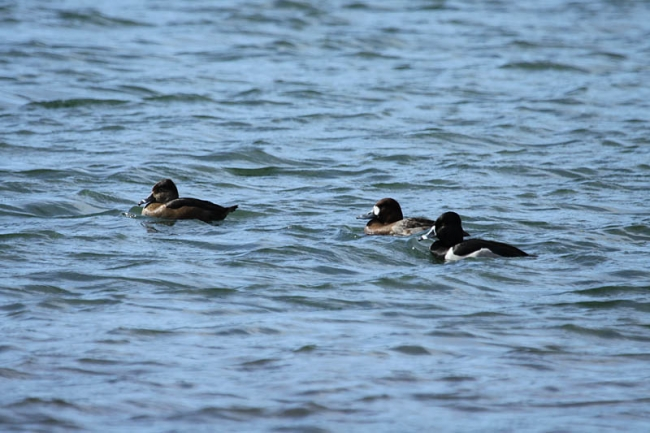 Ring-necked Ducks & Scaup