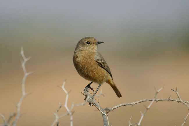 Moussier's Redstart, female