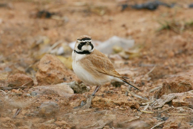 Temminck's Horned Lark