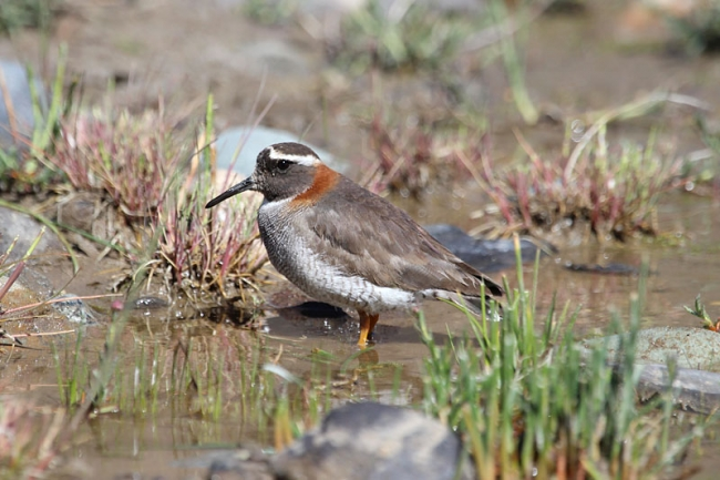 Diameded Sandpiper-Plover
