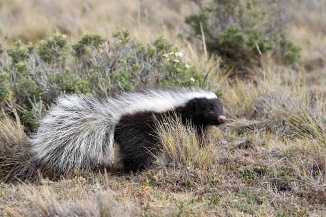 Hog-nosed Skunk