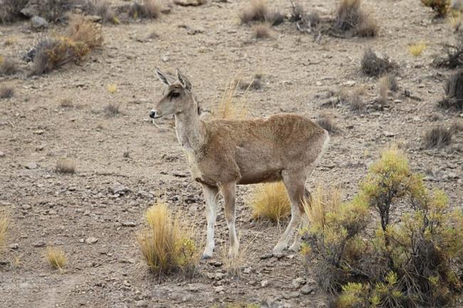 North Andean Deer