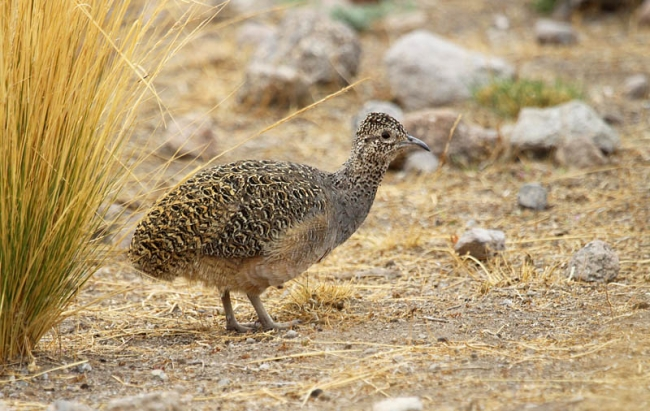 Ornate Tinamou