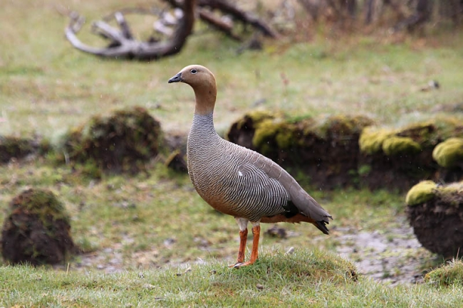 Ruddy-headed_Goose_