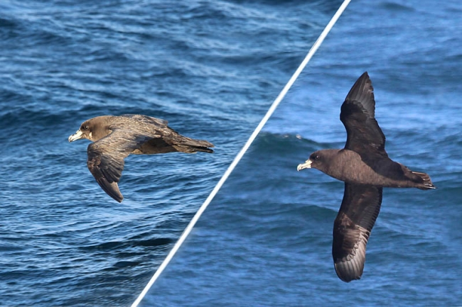 Westlands & White-chinned Petrel