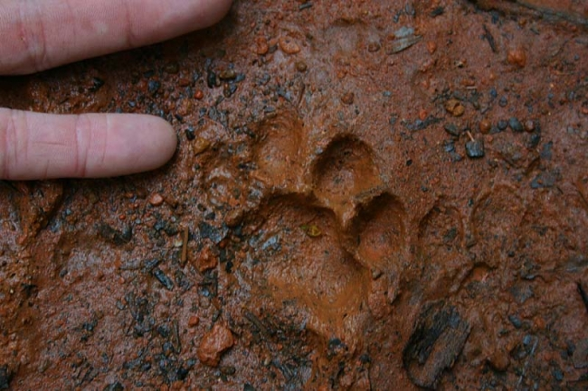 Ocelot footprint