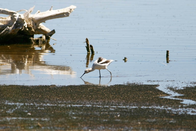 American Avocet and brine flies