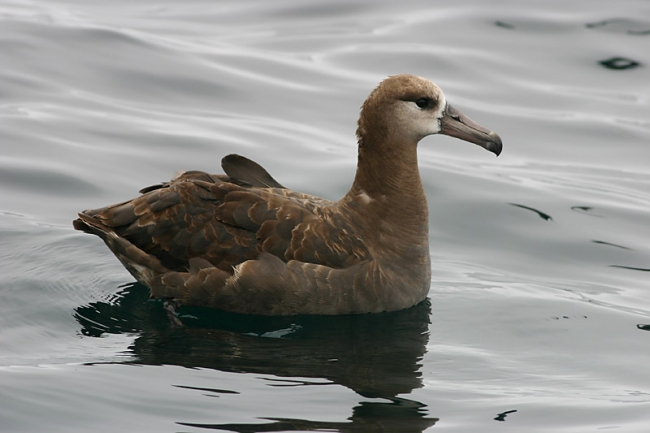 Black-footed Albatross