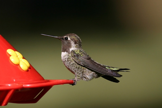 Black-throated Hummingbird