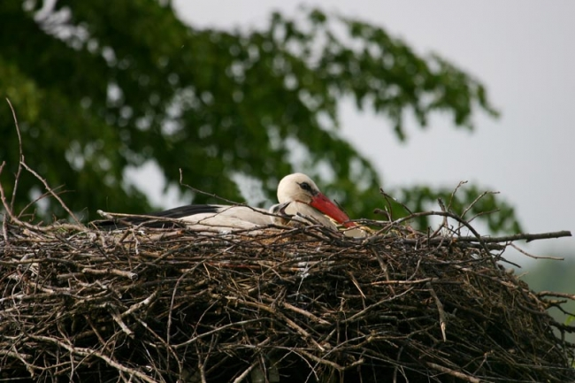 White Storks, newly hatched