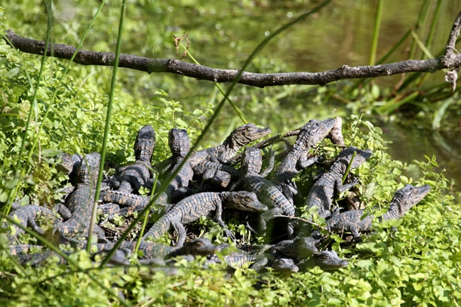 Alligator nest
