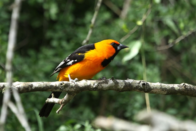 Altimara Oriole