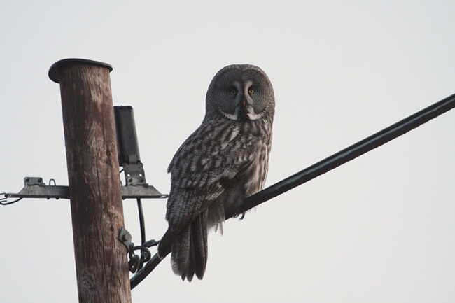 Great Grey Owl_