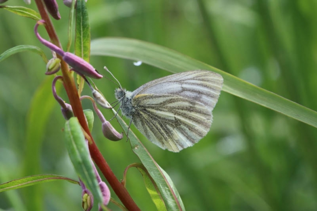 Green-veined White bicolorate