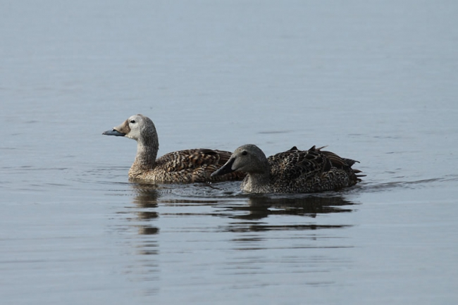 Spectacled & King Eiders