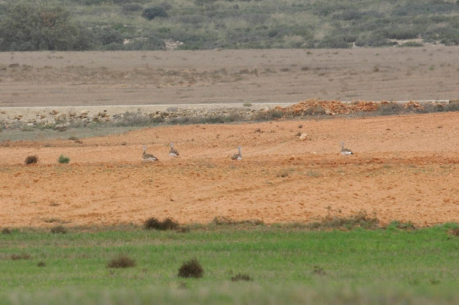 Great Bustards