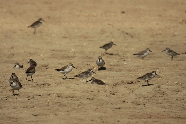 Broad-billed Sandpipers