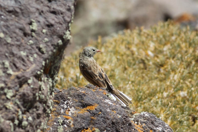Grey-necked Bunting