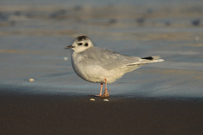 Little Gull_