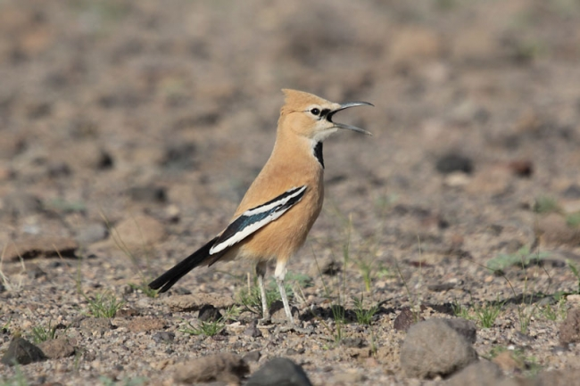 Pleske's Ground Jay