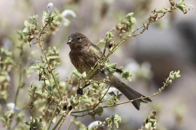 Red-fronted Serin