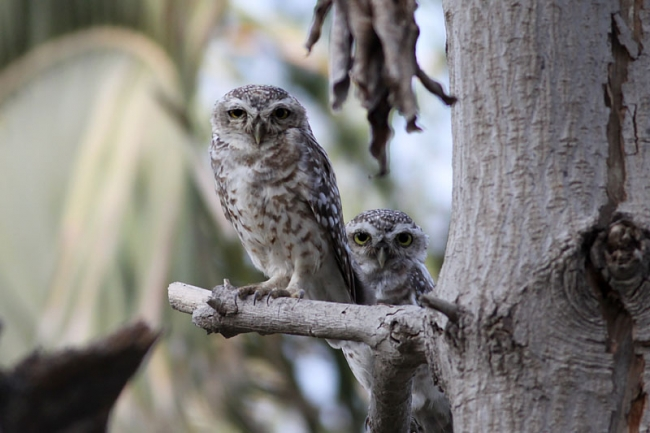 Spotted Little Owl